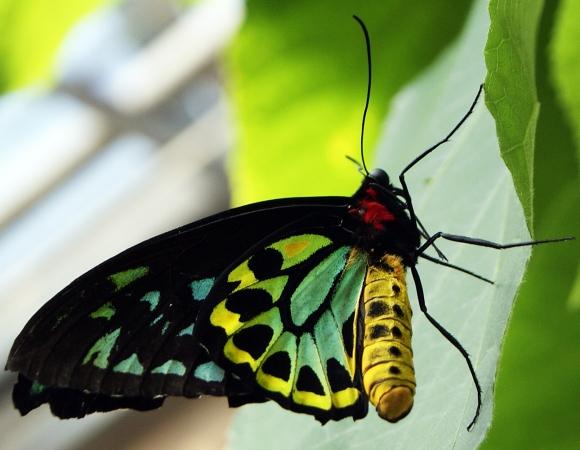 Tie-dye Mothra
