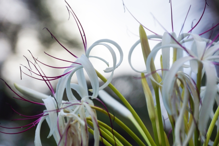 Hawaiian Vacation_White flowers