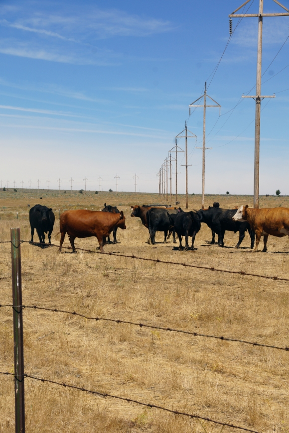 Imperial Stock Ranch_Cattle