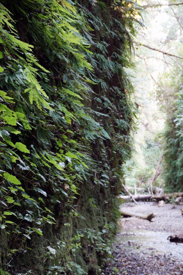 vERY tALL tREES_Fern Canyon 2