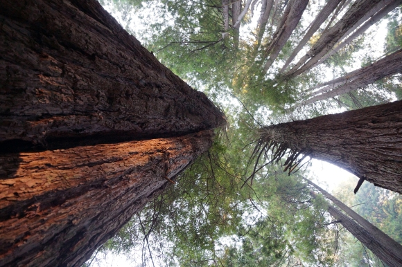 vERY tALL tREES_Looking up at Redwoods