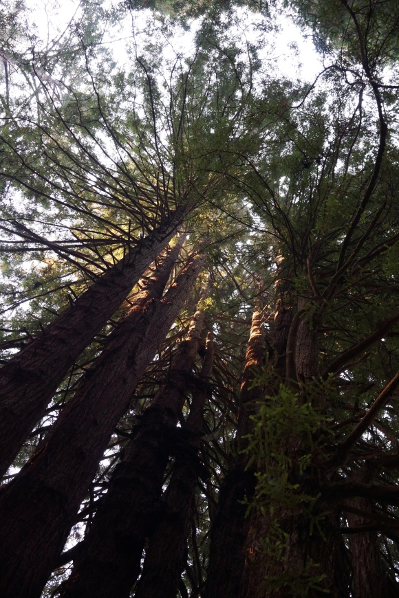 vERY tALL tREES_Redwood Chapel