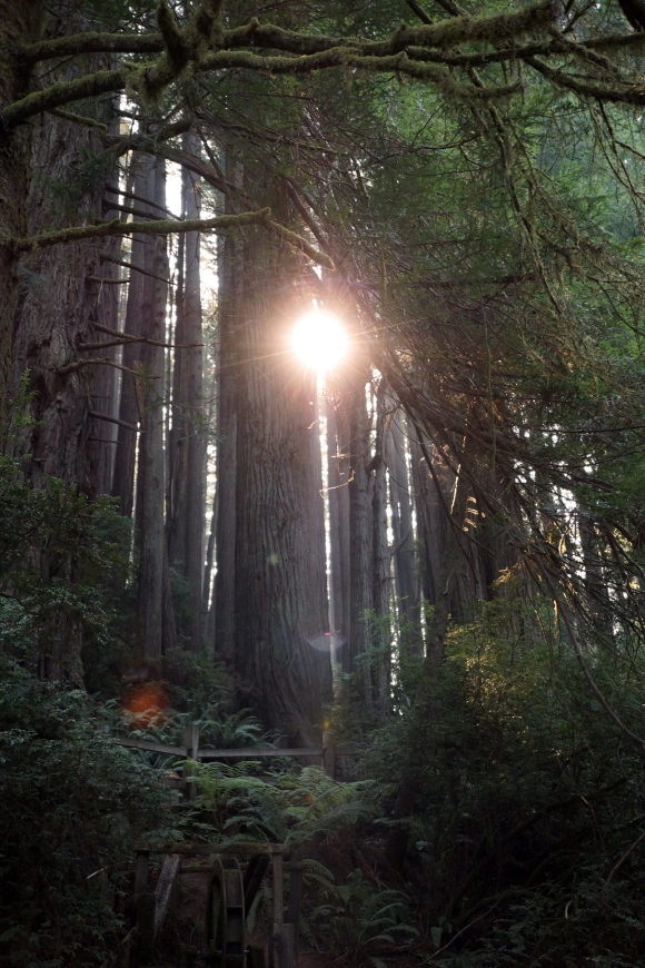 vERY tALL tREES_Sunbeam through Redwoods